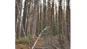 New research shows that there is a serious ripple effect when pine beetles kill mature pine trees, weakening seedlings and greatly affecting their survivability