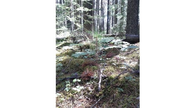Pine seedling growing in the understory of a pine forest.  Survival rates of seedling diminish greatly when beetles kill off mature trees along with the fungi in their roots and the soil
