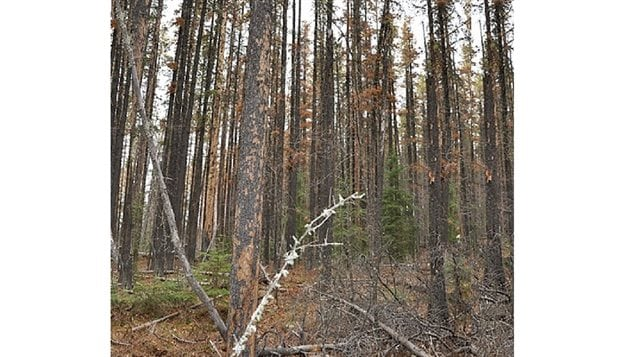 Pine beetles unsuspected additional threat to boreal forest for Mature pine trees
