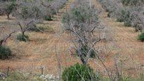 Ces oliviers malades de la peste verte