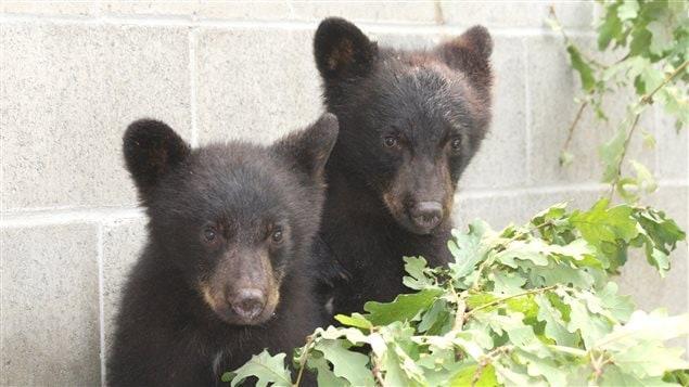 Ces deux petits ours doivent leur vie à l'agent de conservation Bryce Casavant.