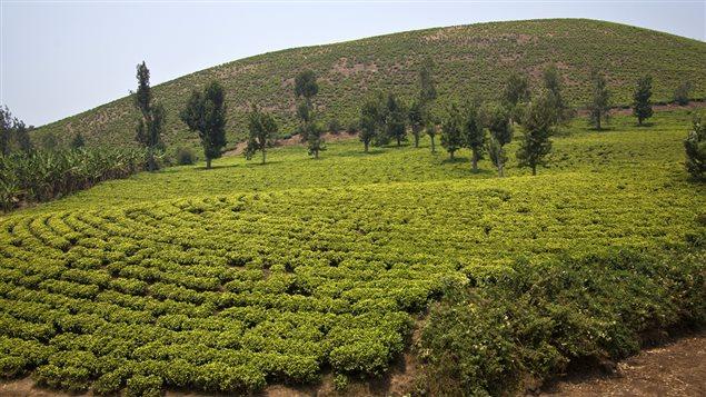 Plantation de thé sur une colline au Rwanda