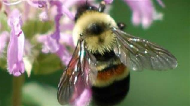 The rusty-patched bumble bee used to be one of the most common in southern Ontario and Quebec, but now are very rare.