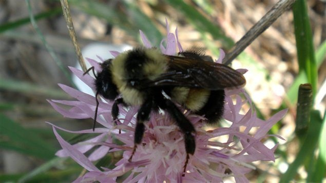 2009 photo of Rusty-patched bumblebee in Pinery Park. The folded wings mask the reddish patch, still partially visible  on its back