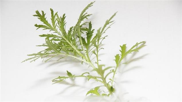 Un petit plan d'herbe à poux