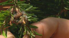 Chenille de tordeuse sur une �pinette
