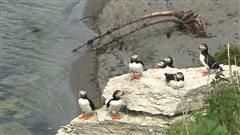 L'Île au perroquet doit son nom au macareux moine, surnommé le 'perroquet de mer', qui niche sur l'île.