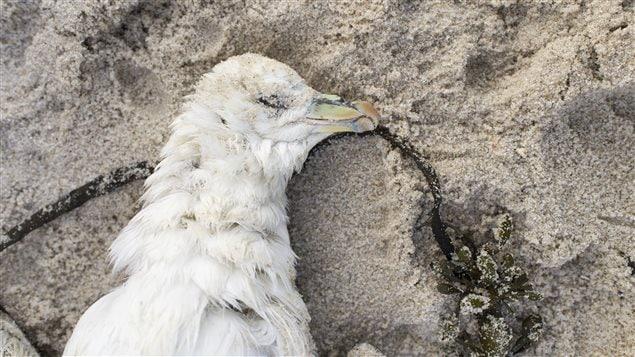 Un oiseau mort repose sur une plage