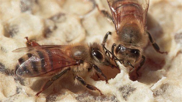 Être apiculteur et éleveur de «reines», le quotidien d'Anicet Desrochers