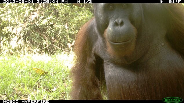 Young male orangutan attracted to the movement actuated field camera