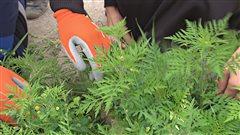 Les feuilles de l'herbe � poux ressemble � un plant de carottes.