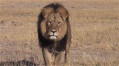 Mort du lion Cecil : «Il était à la fin de sa vie», pense un organisateur de safaris