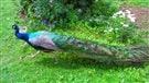 Paon domestique recherché à l'Île-du-Prince-Édouard