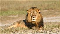 La chasse au lion suspendue au Zimbabwe après la mort de Cecil
