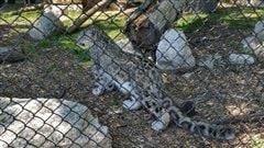 Les félins à l'honneur au zoo du parc Assiniboine