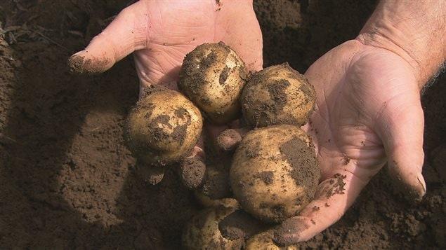 Les projets visent aussi l'adoption de la culture de pommes de terre nutritives et résistantes aux maladies en Colombie