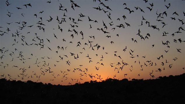 Bats emerge from Frio cave in Texas. It's estimated insect-eating bats provide an annual $741, 000 worth of pest-control services in that state alone.