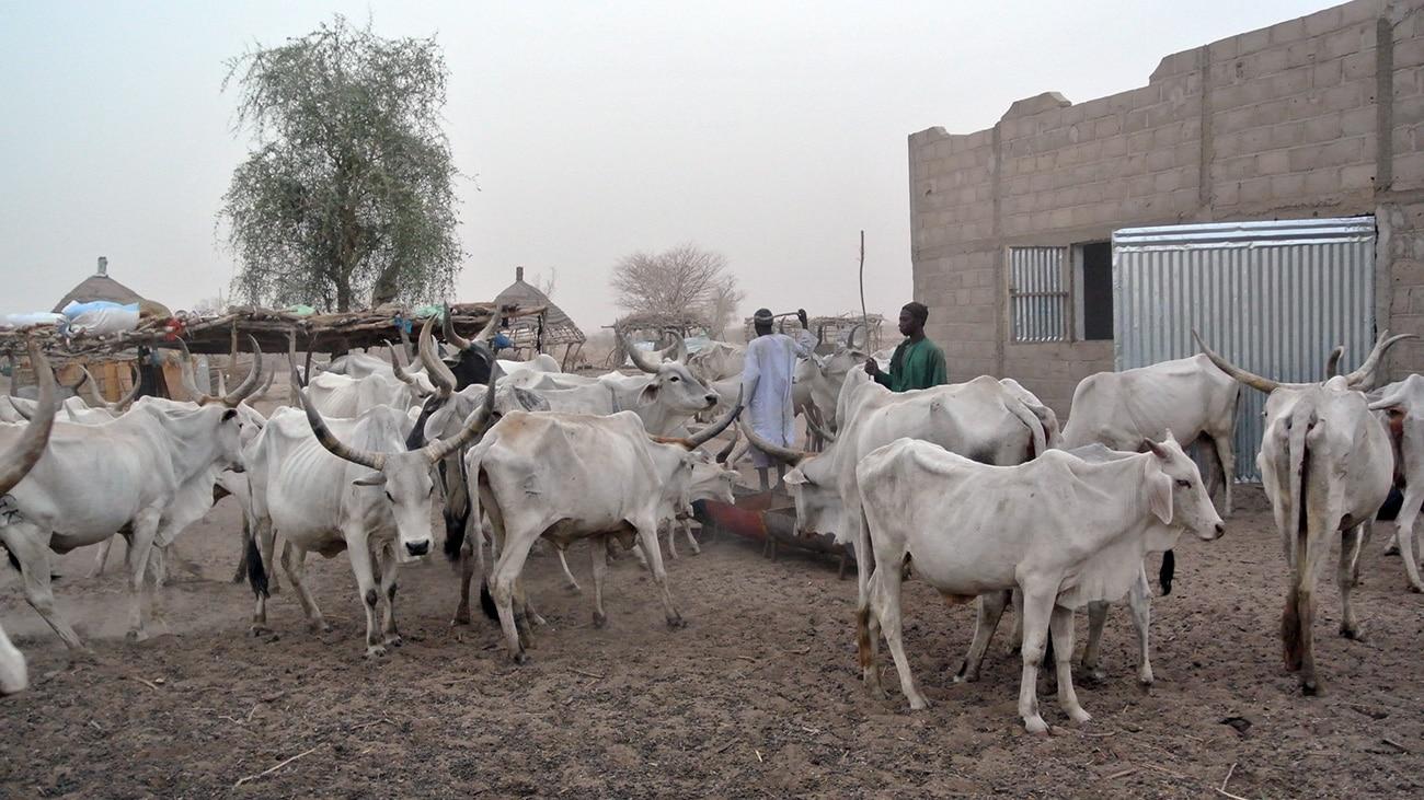Pendant la saison sèche, les vaches sont amaigries, l'herbe est rare.