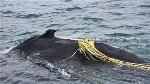 La baleine à bosse surnommée Lacuna a été coincée dans des filets de pêche, dans la Baie de Fundy