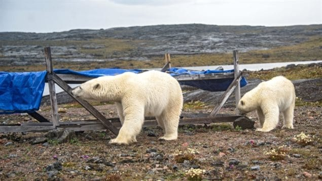 Two polar bears approached a campsite in the northern territory of Nunavut and were captured in photos by Maggie Putulik.