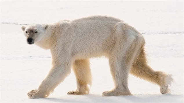 This emaciated polar bear swam underwater for an unusually long time to try to catch a bearded seal.