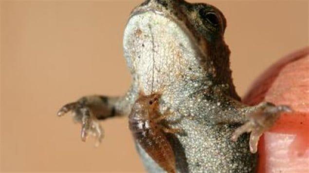 parasite_grenouille
