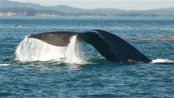 The Conservation Council of New Brunswick says the project would further stress the endangered North American right whale.