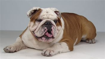 Insurance companies say the inbreeding and structural deformities of English Bulldogs has made them the sickest breed on the market. We see a large dog lying on a floor. He is a mix of colour: his face mainly white, his body mainly a light brown. His tongue is hanging out. But then has there ever been an English bulldog whose tongue was not hanging out?