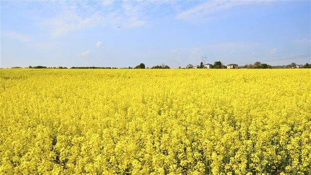 Un champ de canola : le terme « canola » est déposé comme marque de commerce en 1978 par la Western Canadian Oilseed Crushers Association