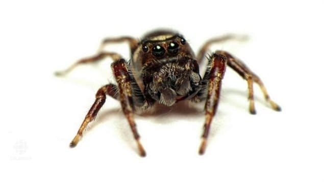 Bronze jumping spiders, which are about half a centimetre long, are considered beneficial because they prey on caterpillars, aphids or other pests that damage fruits and flowers. Pesticides however affect not only the pest insects, but aslo the beneficial insects like this spider