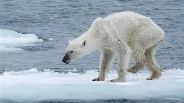 erman photographer Kerstin Langenberger posted this photo of an emaciated bear near Svalbard Norway on her Facebook page in August. She says it shows how climate change, which is melting the Arctic sea ice, is harming the bears. Others say this may just be an old bear. However, there have been several otehr photos of dead bears in the area in the last couple of years which seem ot point to previously healthy bears dying of starvation.