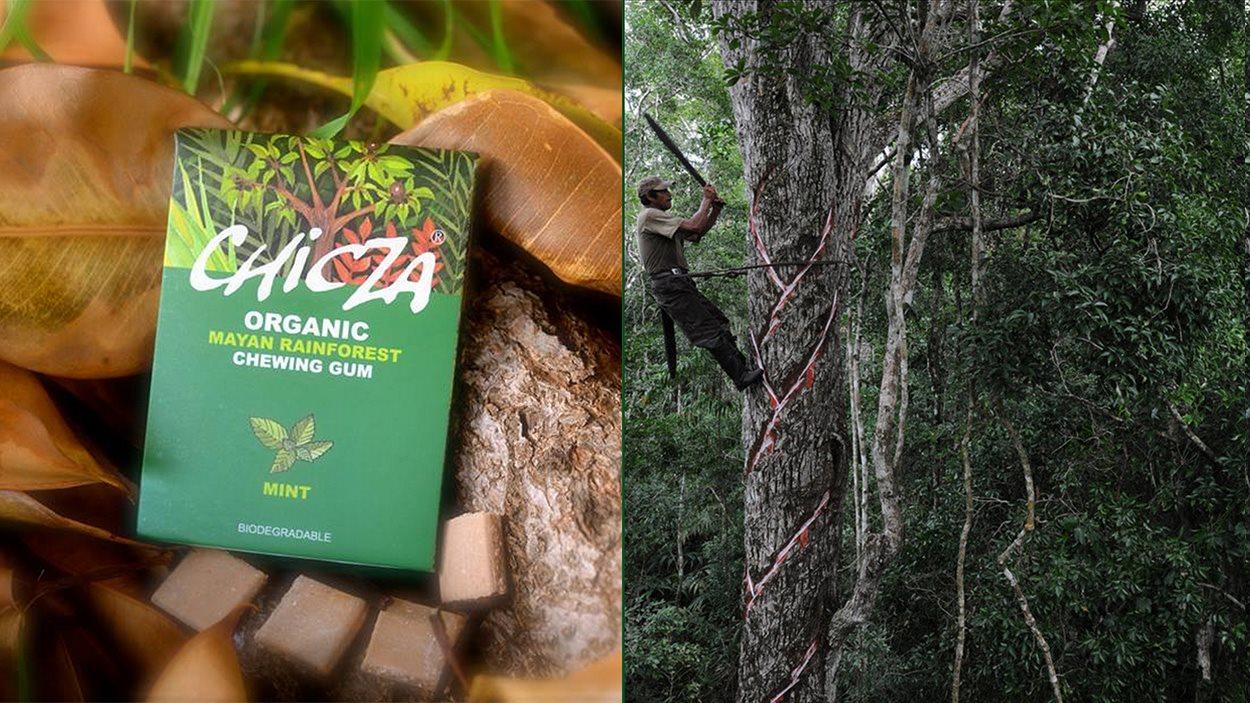 La gomme Chicza et un Maya en train de tailler un arbre pour en recueillir la sève