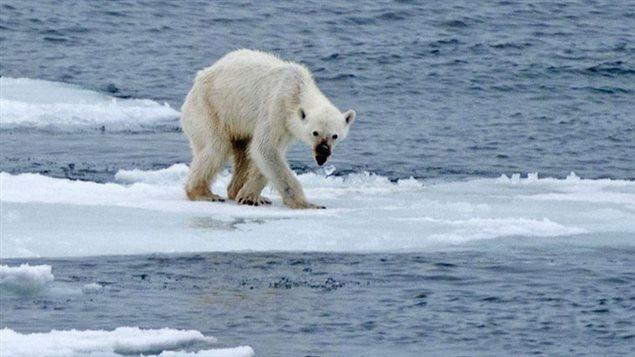 Les scientifiques s'attendent à une diminution des deux tiers environ des populations d'ours polaires dans le monde d'ici 2050. Ils estiment que ces populations sont actuellement en déclin au sein de 4 des 19 populations d'ours polaires dans le monde; 5 sont stables, et l'on ne dispose pas de données suffisantes au sujet des 10 autres.