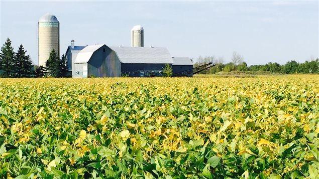 Un champ de soya avec une ferme laitière en arrière-plan, dans l'Est ontarien.