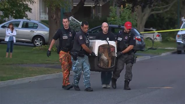 The police took the pitbull that attacked a girl in Brossard.