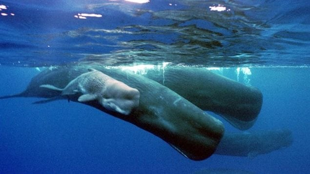 A new study suggests young sperm whales pick up their dialects through cultural learning.