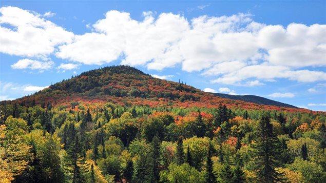 Les scientifiques ne sont pas unanimes sur les motifs qui font que certaines feuilles d'un même arbre deviennent rouges alors que d'autres seront jaunes. Des dommages causés à la chlorophylle des feuilles par le froid la nuit ou par le soleil le jour seraient une partie de l'explication.