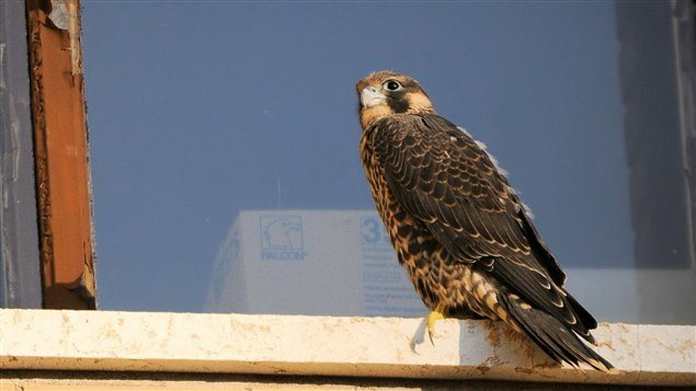 An immature peregrin falcon. The population is making a good comeback after being almost wiped out by the 1980's. An intense captive breeding programme, and the banning of DDT were major factors in the recovery