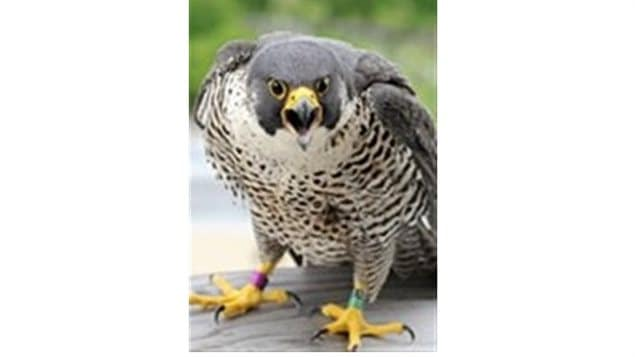 One of the UdeM falcons named