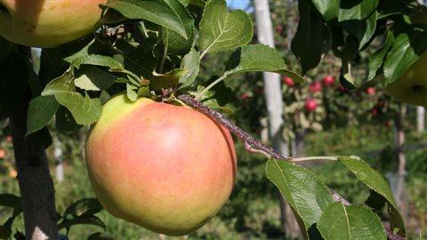 La nouvelle pomme Passionata