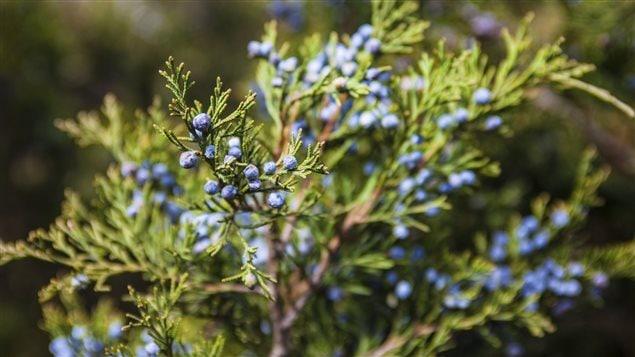 Le Gen�vrier commun ou Geni�vre (Juniperus communis L.)