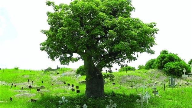 Baobab dans un cimeti�re. Photo tir�e du livre Rendez � ces arbres ce qui appartient � ces arbres, �ditions La Presse.
