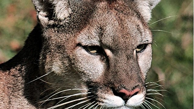 saint albert cougar women St albert rcmp received a call at about 8:45 pm from a resident who spotted what they believe was a cougar the sighting happened in northwest st albert, near bellerose high school in a wooded .