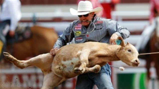 A calf-roping event in Calgary. Animal activists have made their way to the Supreme Court of Canada in the battle to protect animals. We see a guy in jean shirt and white cowboy had with a brown calf stretched out between his arms that he is about to throw to the ground. The man has a strained expression (to put it mildly) on his face. The calf looks terrified.