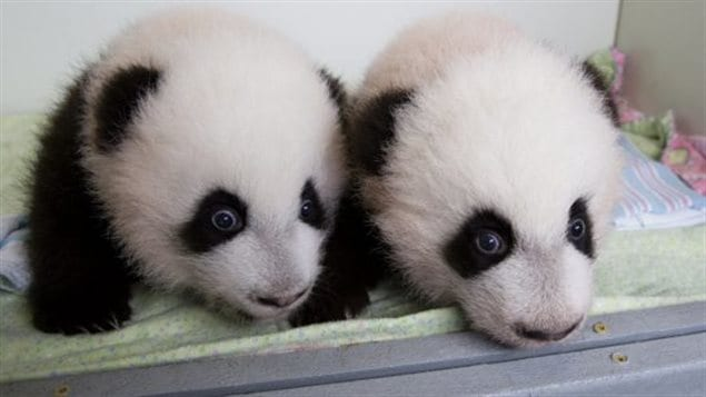 What the cubs will look like at three months old. Cubs can stand and take a few steps and can see. In another month they will be able to scamper and play and often climb on the mother. At six months they will be learning to eat bamboo and climb tree branches.