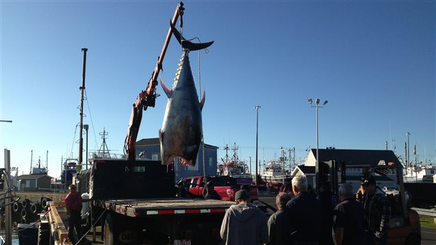 Un thon rouge est déchargé d'un bateau à Shippagan, au Nouveau-Brunswick.