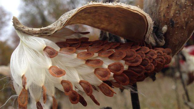 Une nouvelle plante textile, la soie d'Amérique [lien] 151022_q537q_asclepiade-follicule_sn635