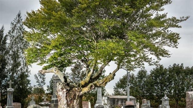 le plus bel arbre du qu bec est sainte ang le de monnoir par ici l 39 info ici radio canada. Black Bedroom Furniture Sets. Home Design Ideas