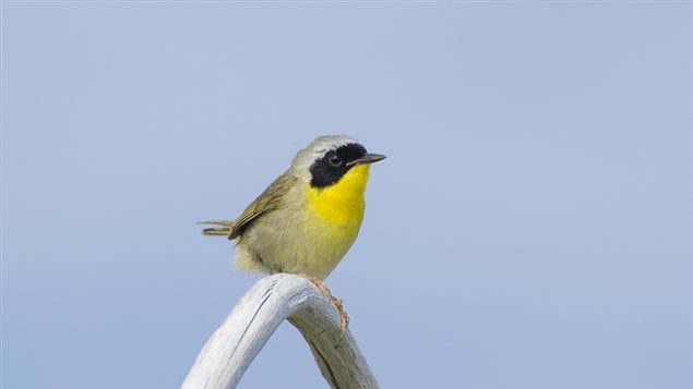 Common Yellowthroat warbler; male, bright yellow with distinctly contrasting black mask. new research finds that the common theory of colourful males and dull coloured females, and the reasons for it, are in fact mor highly nuanced than previously thought