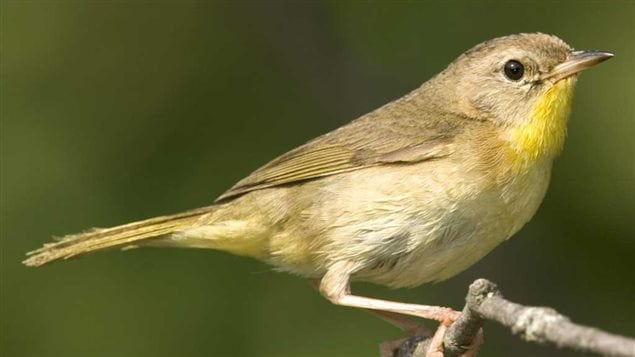 Common Yellowthroat female, shows much less coloration